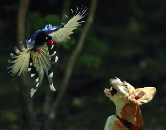 Magpie and Puppy Fight