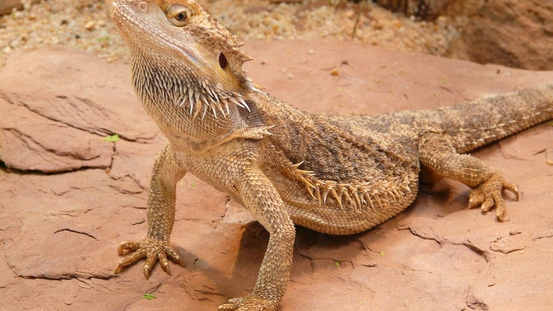 Bearded dragon standing on rock