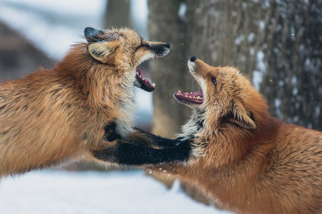 Two Foxes Fighting