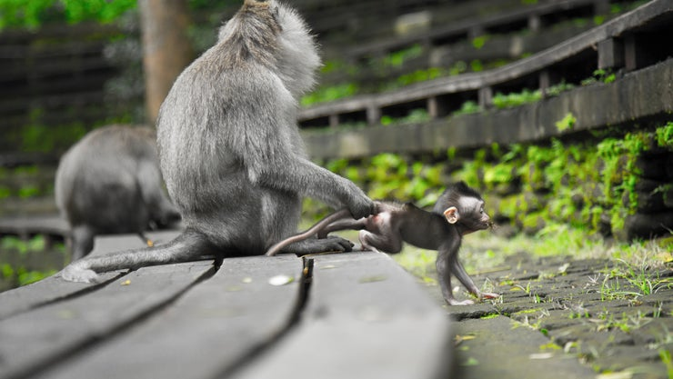 Long-tailed Macaque Mom With Troublemaker Baby