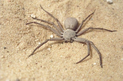 six-eye sand spider