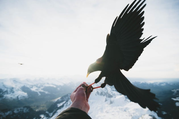 big black crow landing on hand on mountain
