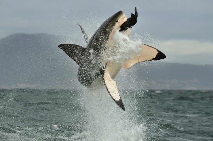 Great White shark jumping and eating