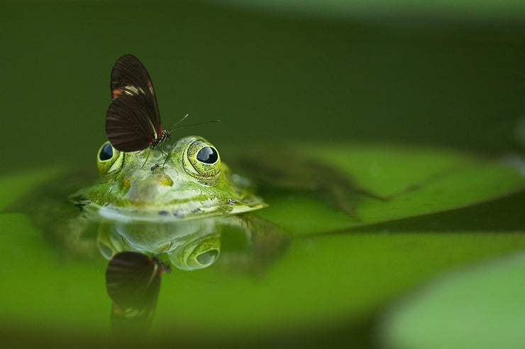 Butterfly Plops on Frog
