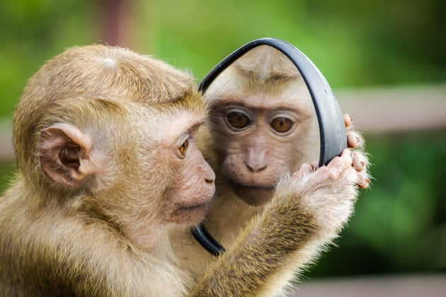 Macaque Monkey Looking in Mirror