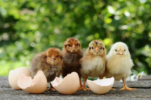 chickensexer