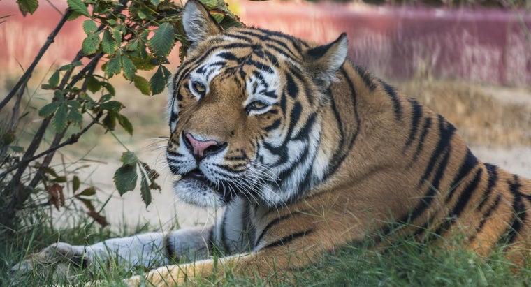 advantages-disadvantages-tigers