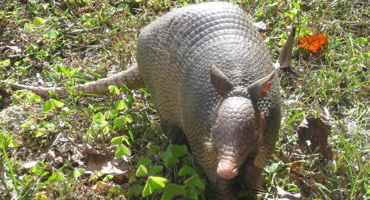 armadillos-lay-eggs