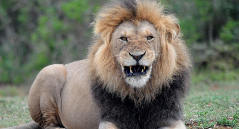average-weight-male-lion