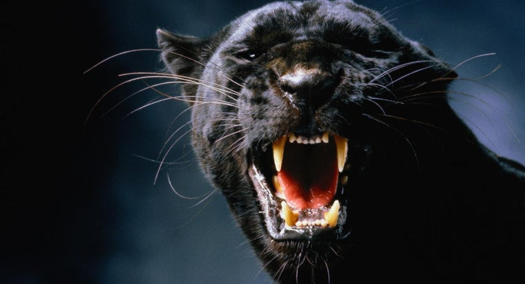 black-panthers-eat