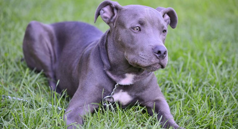 blue-pitbull