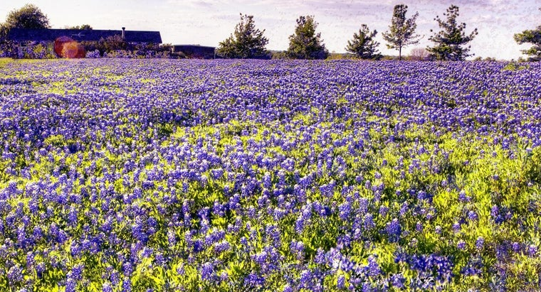 bluebonnets-grow