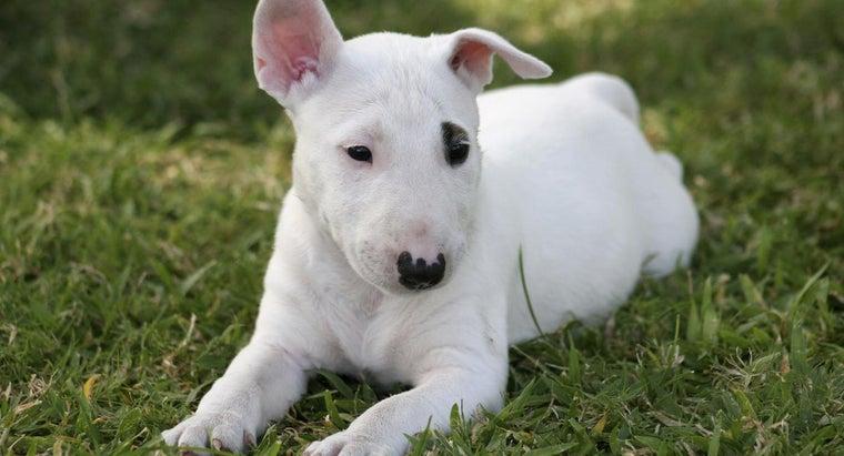 breed-dog-spuds-mackenzie