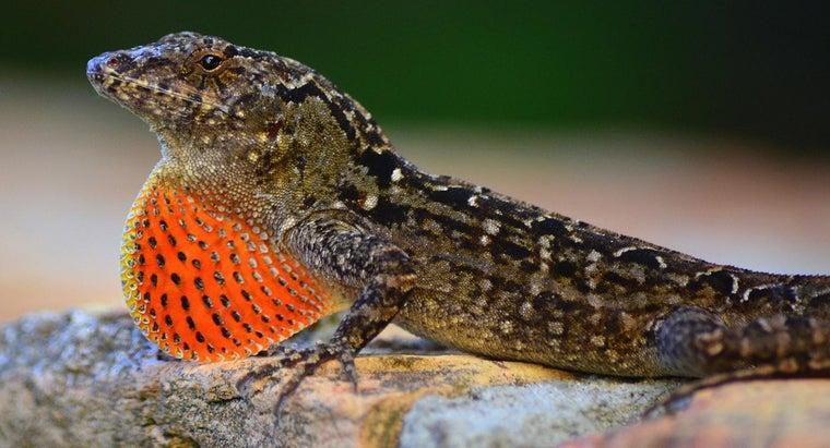 brown-lizards-eat