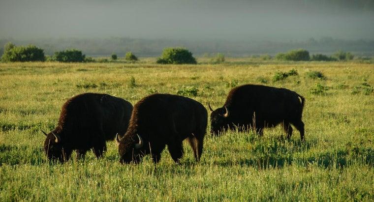 buffaloes-eat