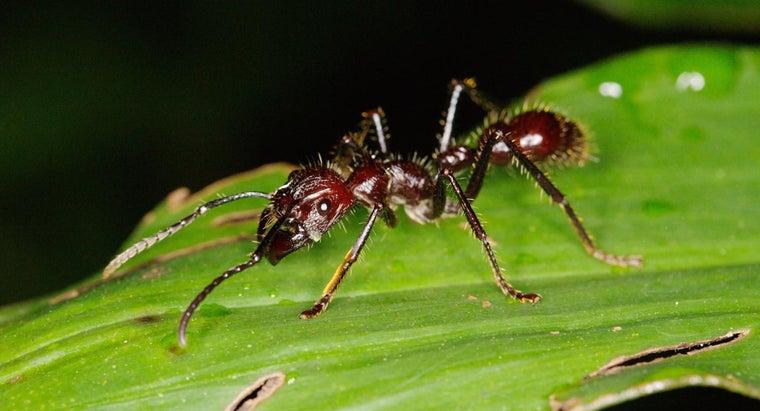 bullet-ants-live