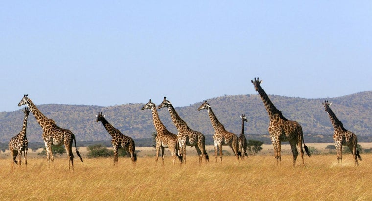 call-group-giraffes