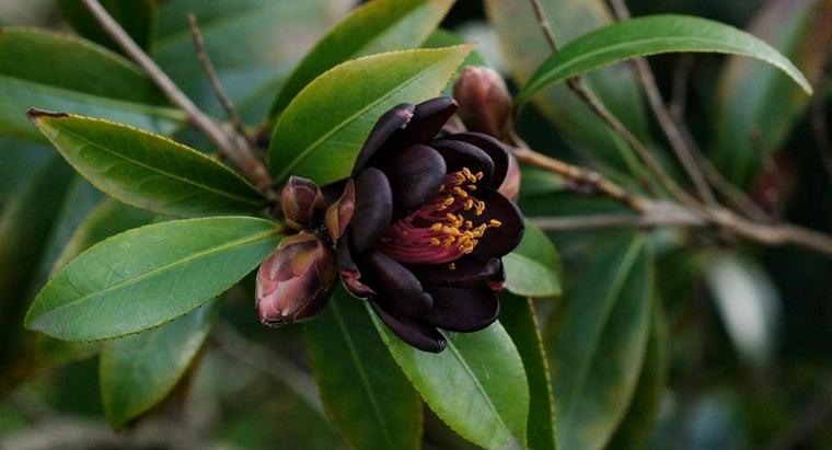 camellia-shrub