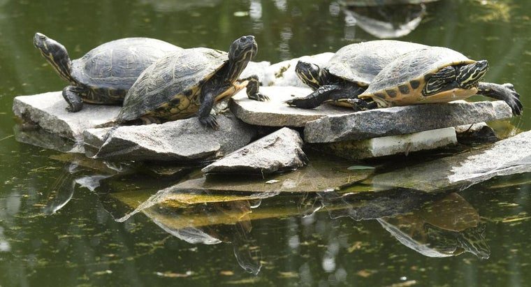 can-tell-old-snapping-turtle
