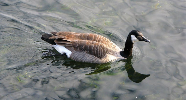 canada-geese-migrate