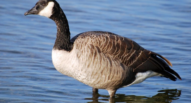 canada-geese-spend-winter
