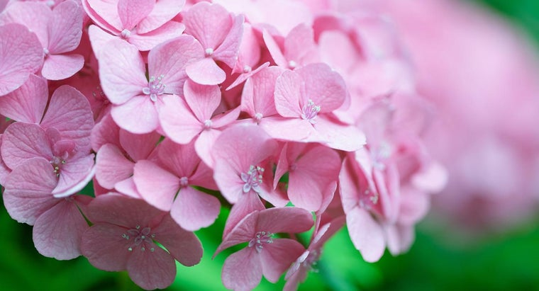 causes-brown-spots-hydrangea-leaves
