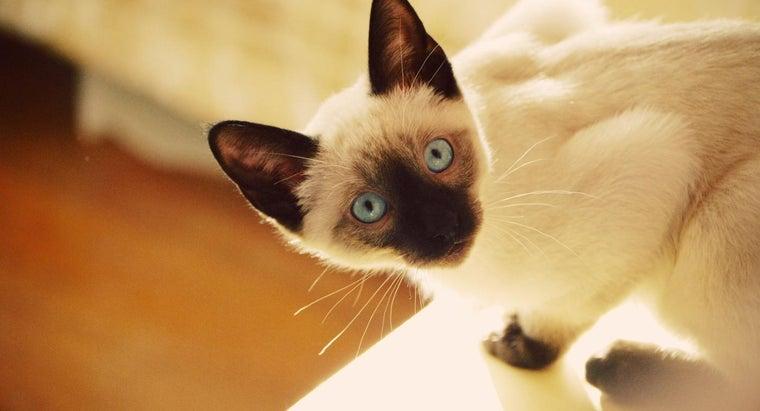 characteristics-siamese-mix-cats