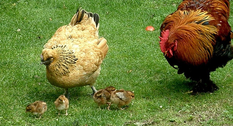 chickens-pregnant