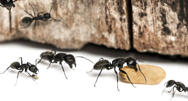 common-ways-kill-carpenter-ants
