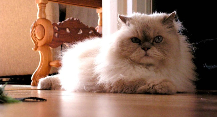 difference-between-himalayan-cat-siamese-cat