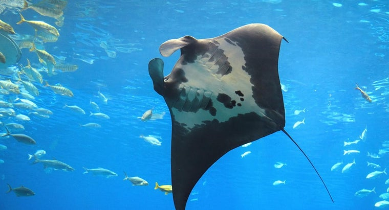 difference-between-manta-ray-stingray