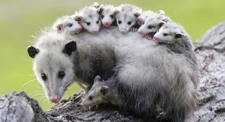 possums-sleep-upside-down
