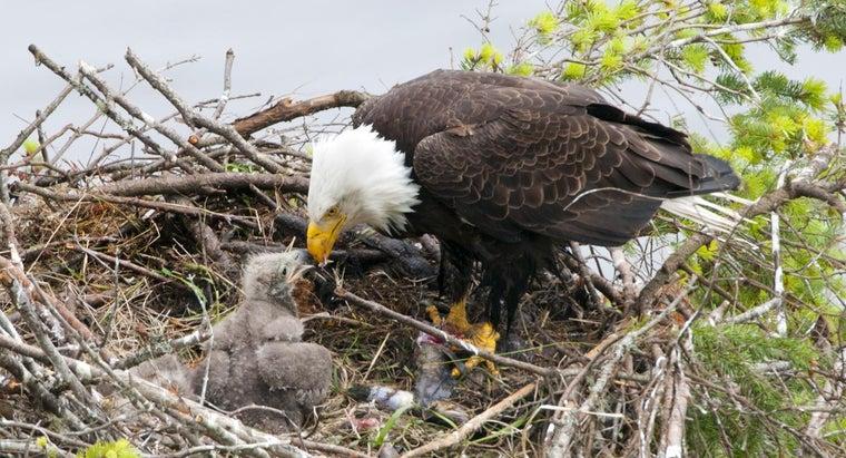 eagle-eat