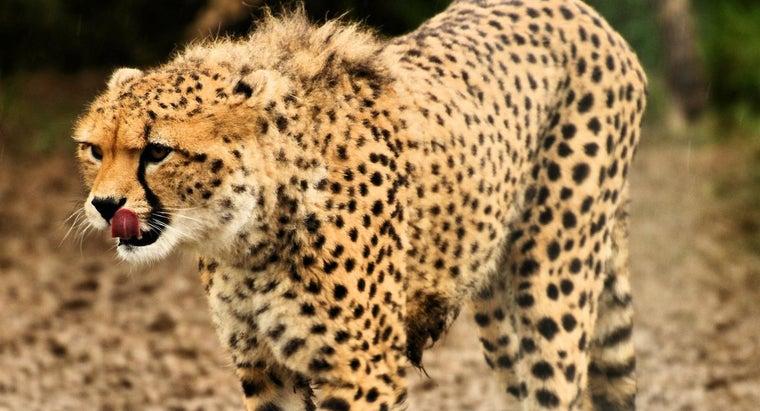 eats-cheetahs