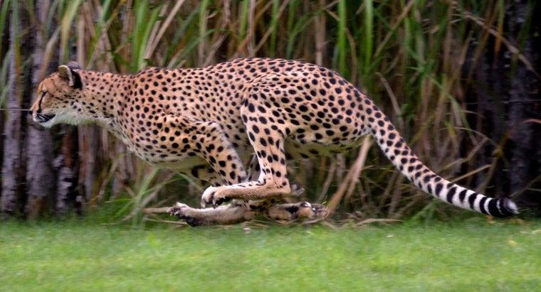 fast-jaguar-run
