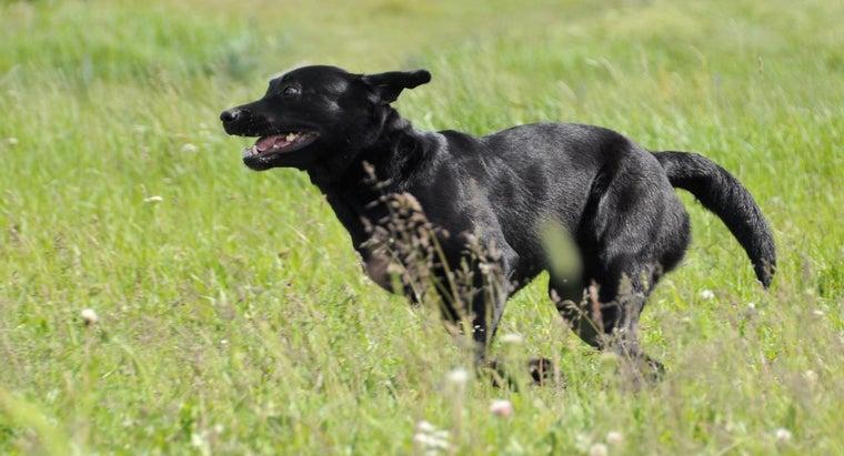 fast-labrador-retrievers-run