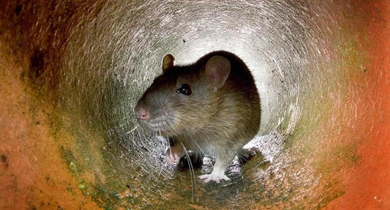 food-trap-rat