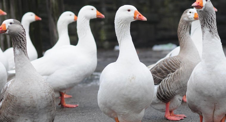 geese-eat