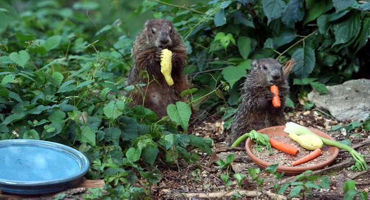 groundhogs-live