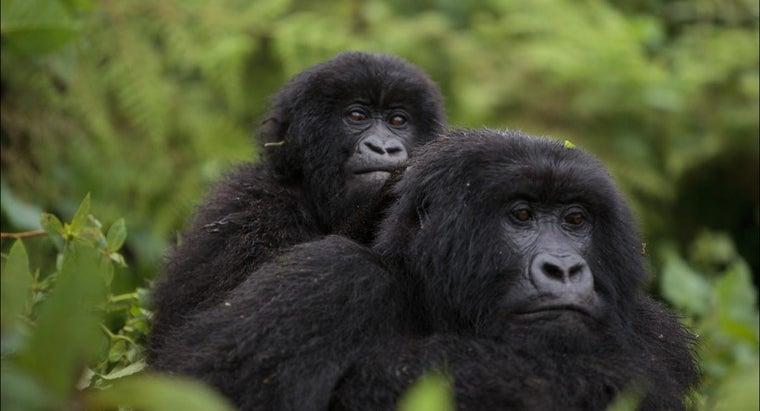 group-gorillas-called