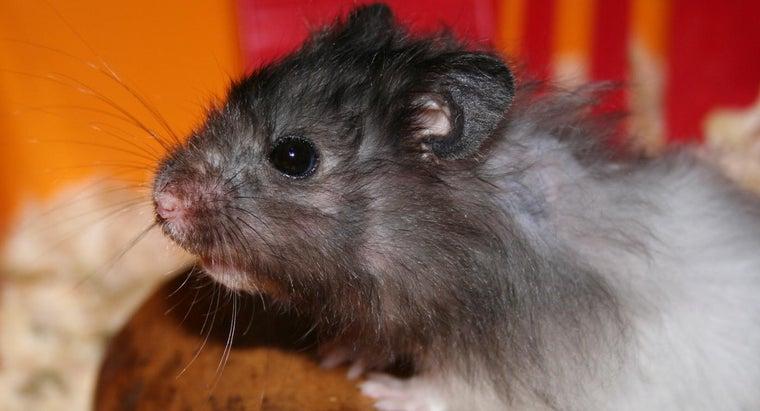 hamsters-squeak