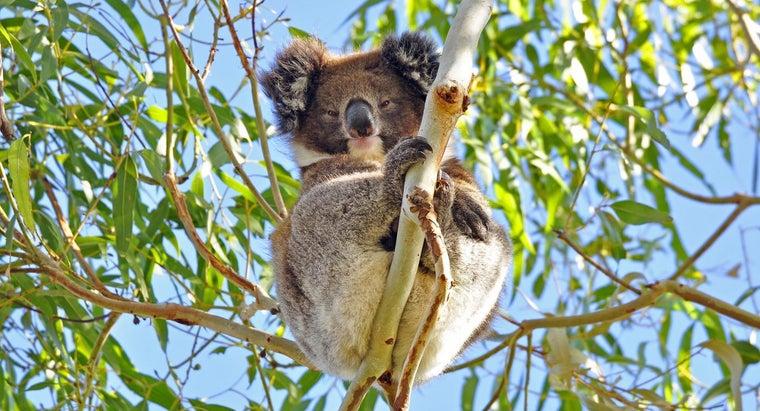 koalas-protect-themselves