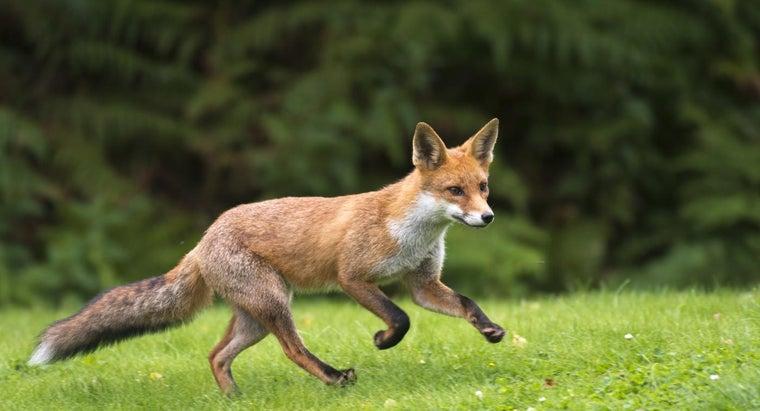 fast-can-fox-run