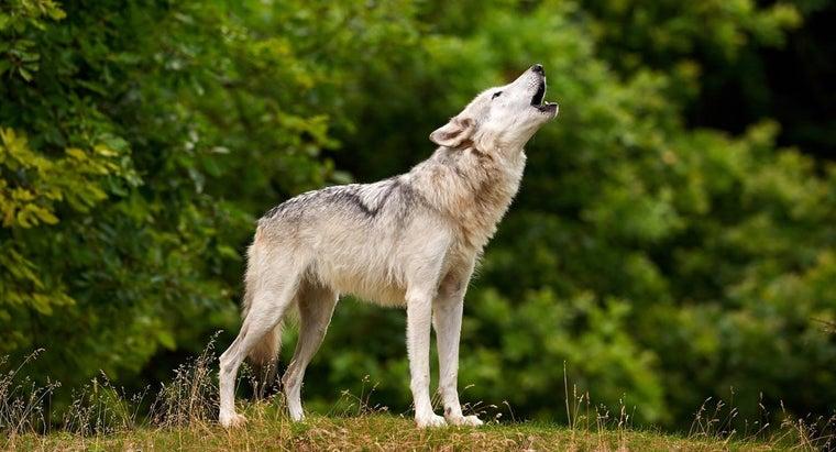 long-wolves-live