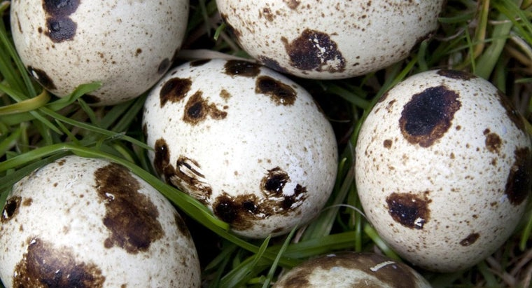 many-eggs-quail-lay