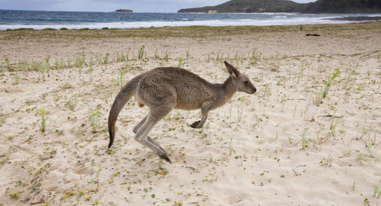 kinds-animals-eat-kangaroos
