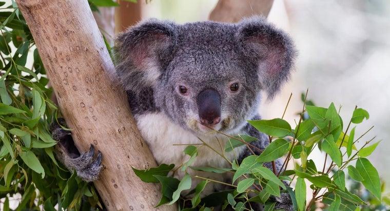koalas-eat-bamboo