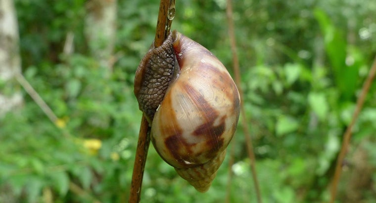 largest-snail-world