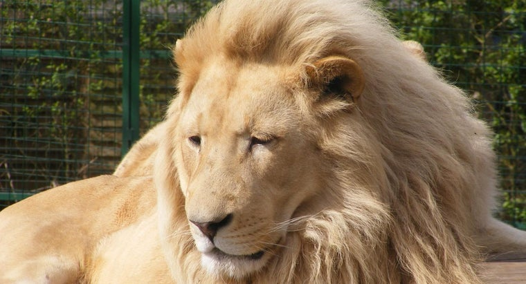 lions-called-king-jungle