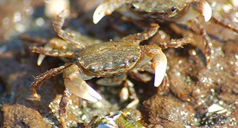 long-crabs-live